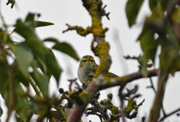 05.01.16. Pallas's Leaf Warbler, Heswall, Cheshire. Bill Morton