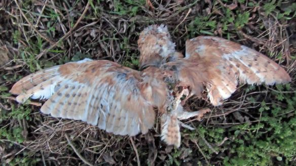 22.01.16. Dead Barn Owl, Moorditch Lane, Frodsham Marsh. Bill Morton (4)