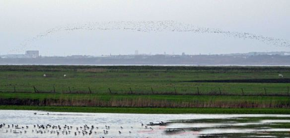 22.01.16. Lapwings, No.3 tank, Frodsham Marsh. Bill Morton (8)