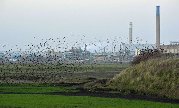 22.01.16. Starlings, No.3 tank, Frodsham Marsh. Bill Morton (11)