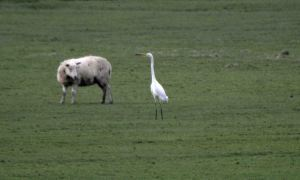 23.01.16. Great White Egret on Frodsham Score, Frodsham Marsh. Bill Morton (3)
