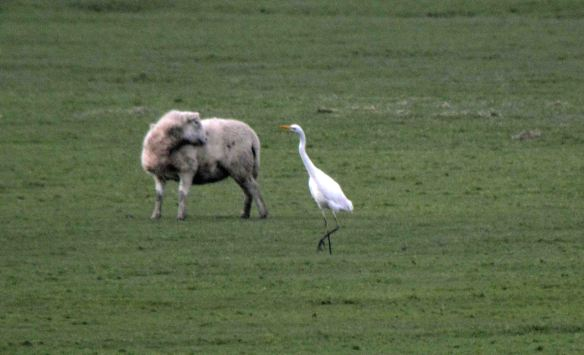 23.01.16. Great White Egret on Frodsham Score, Frodsham Marsh. Bill Morton (4)