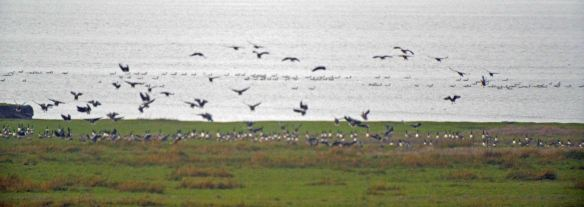 23.01.16. Pink-footed Geese on Frodsham Score, Frodsham Marsh. Bill Morton (32)