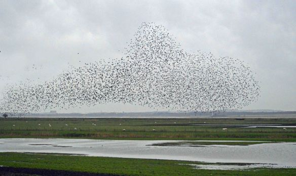 23.01.16. Starling flocks, No.3 tank, Frodsham Marsh. Bill Morton (11)