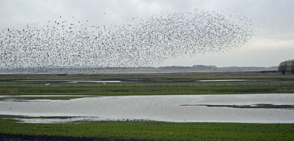 23.01.16. Starling flocks, No.3 tank, Frodsham Marsh. Bill Morton (17)