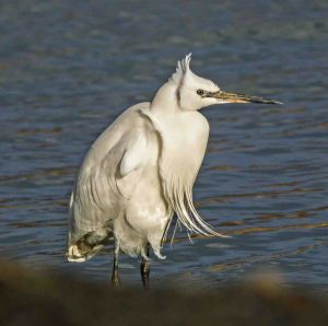 30.01.16. Little Egret. Paul Crawley