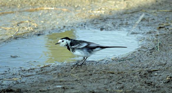 30.01.16. Pied Wagtail, Marsh Farm. Frodsham Marsh, Bill Morton