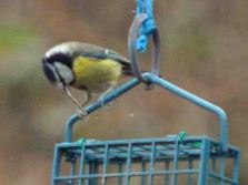 31.01.16. Abnormally long-billed Blue Tit, Runcorn. Bill Morton