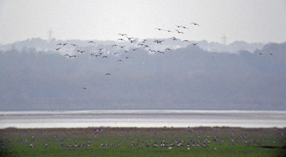 01.01.16. Pink-footed Goose, Frodsham Score, Frodsham Marsh. Bill Morton