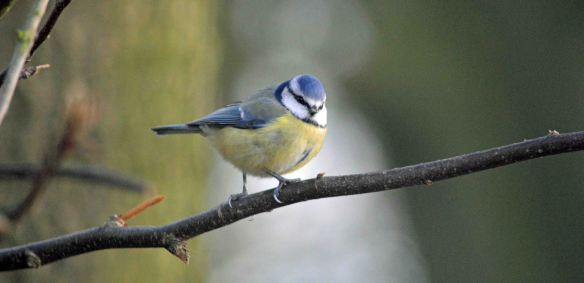 Blue Tit, Tatton Park. Bill Morton