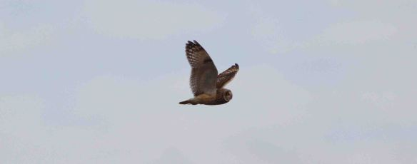 16.01.16. Short-eared Owl, No.5 tank, Frodsham Marsh. Bill Morton