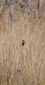 16.01.16. Stonechat, No.5 tank, Frodsham Marsh. Bill Morton