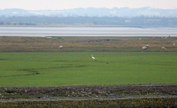 16.01.16. Great White Egret, Frodsham Score, Frodsham Marsh. Paul Ralston