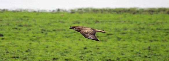 17.01.16. Common Buzzard, Frodsham Score, Frodsham Marsh. Paul Ralston