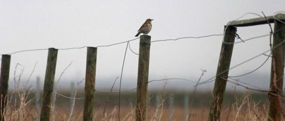 31.01.16. Song Thrush, No.5 tank. Frodsham Marsh,