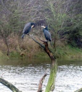 9.01.16. Cormorant (senensis and carbo), No.6 tank, Frodsham Marsh. Bill Morton