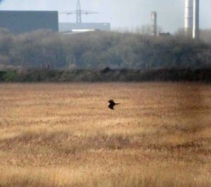 9.01.16. juv Marsh Harrier, No.6 tank, Frodsham Marsh. Bill Morton