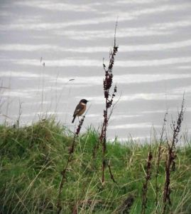 9.01.16. Stonechat, Frodsham Marsh. Bill Morton
