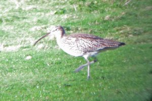 30.01.16. Curlew, Marsh Farm-Frodsham Score, Frodsham Marsh. Bill Morton