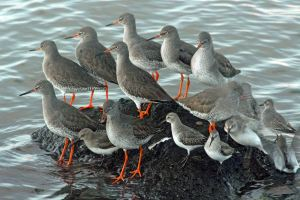 Redshanks by Paul Ralston