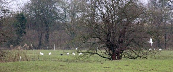 17.01.16. Little Egrets, Ince Marsh. Paul Ralston