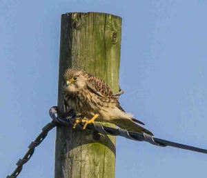 07.02.16. Kestrel, No.1 tank, Frodsham Marsh. Paul Crawley (1)