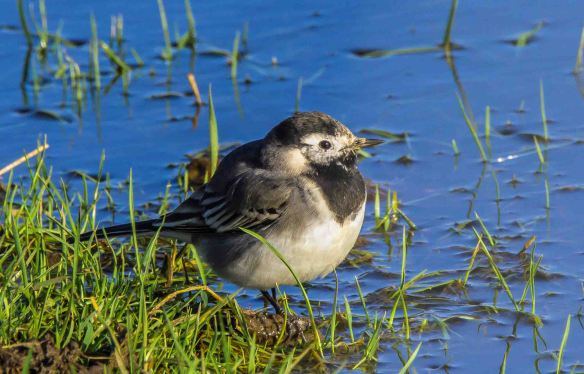 07.02.16. Pied Wagtail, Frodsham Marsh. Paul Crawley (2)