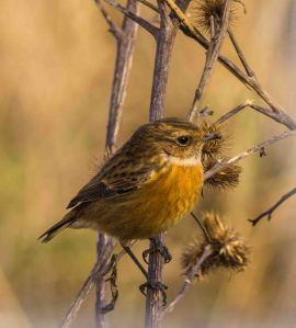 07.02.16. Stonechat, No.1 tank, Frodsham Marsh. Paul Crawley.