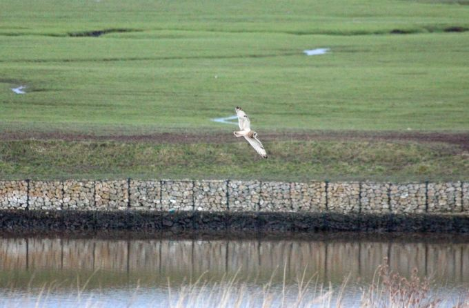 11.02.16. Short-eared Owl, Manchester Ship Canal at Frodsam Marsh. Paul Ralston (1)