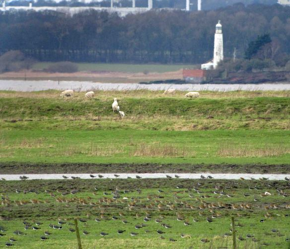 21.02.16. Lapwing and Golden Plover, No.3 tank, Frodsham Marsh. Bill Morton