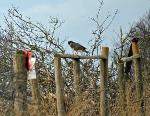21.02.16. male Sparrowhawk, No.5 tank, Frodsham Marsh. Bill Morton (9)