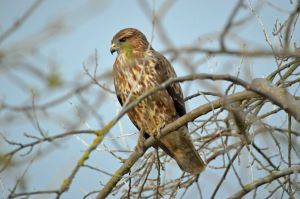 22.02.16. Common Buzzard, No.6 tank, Frodsham Marsh. Bill Morton  (1)