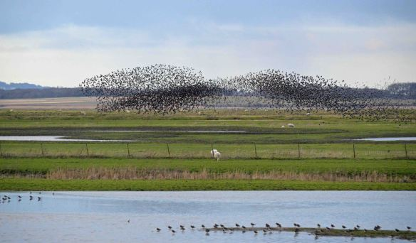 22.02.16. Starlings over No.3 tank, Frodsham Marsh. Bill Morton  (17)