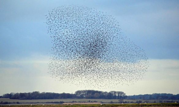 22.02.16. Starlings over No.3 tank, Frodsham Marsh. Bill Morton  (23)