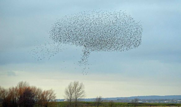 22.02.16. Starlings over No.3 tank, Frodsham Marsh. Bill Morton  (32)