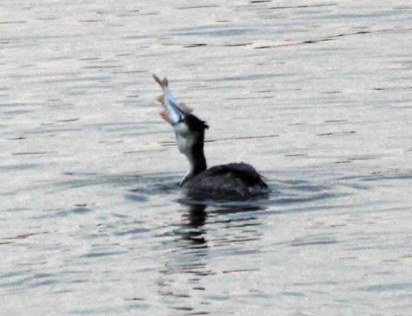 26.02.16. Great Crested Grebe, Manchester Ship Canal, Frodsham Marsh. Paul Ralston (1)