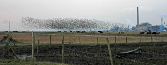 26.02.16. Starlings, Marsh Farm, Frodsham Marsh. Bill Morton (1)