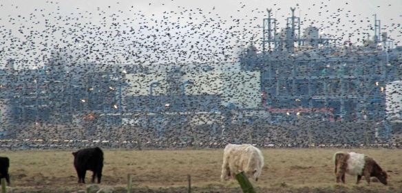 26.02.16. Starlings, Marsh Farm, Frodsham Marsh. Bill Morton (6)