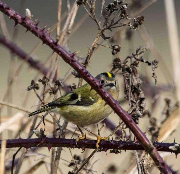27.02.16. Goldcrest, Frodsham Marsh. Paul Crawley.