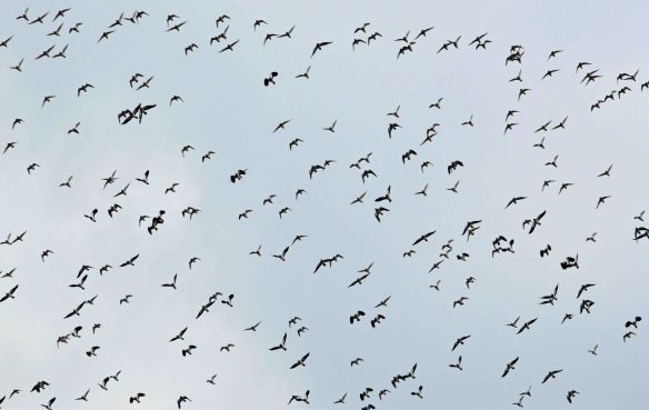 27.02.16. Golden Plovers, No.6 tank, Frodsham Marsh. Bill Morton (54)