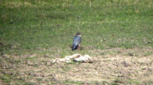 27.02.16. (male) Merlin, No.3 tank, Frodsham Marsh. Bill Morton (2)