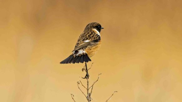 27.02.16. Stonechat, Frodsham Marsh. Paul Crawley (5)