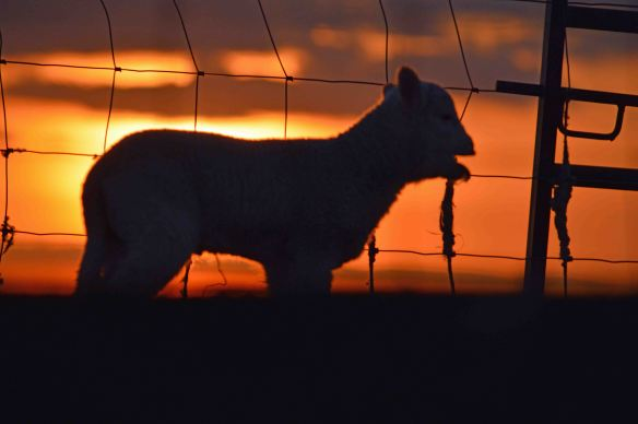 28.02.16. Lamb and sunset, Frodsham Marsh. Bill Morton (1)