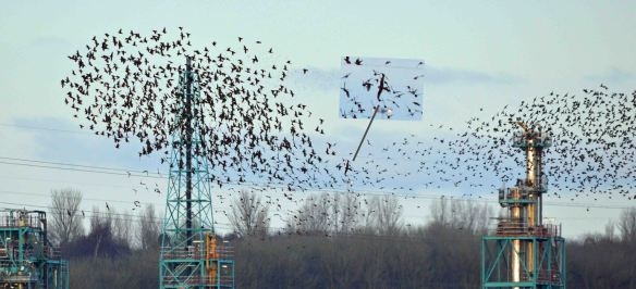 28.02.16.Starlings and Merlin, No.1 tank, Frodsham Marsh. Bill Morton (22)