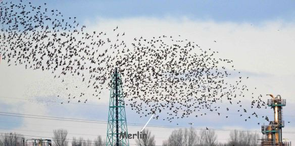 28.02.16.Starlings and Merlin, No.1 tank, Frodsham Marsh. Bill Morton (24)