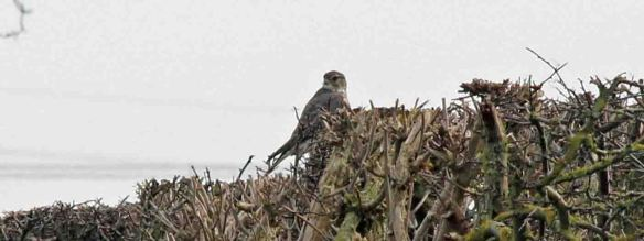 11.03.16. Merlin, Ince Marsh. Paul Ralston (2)