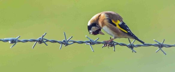 13.03.16. Goldfinch, Frodsham Marsh. Paul Crawley.