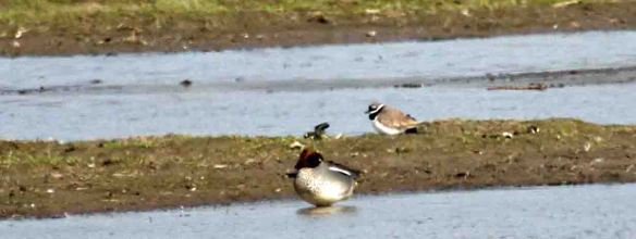 20.03.16. Ringed Plover, No.3 tank, Frodsham Marsh. Findlay Wilde