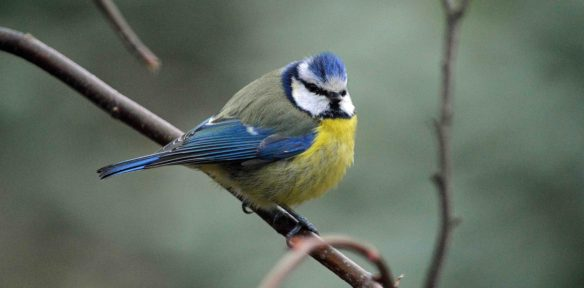 23.03.16. Blue Tit, Tatton Park. Bill Morton (2)