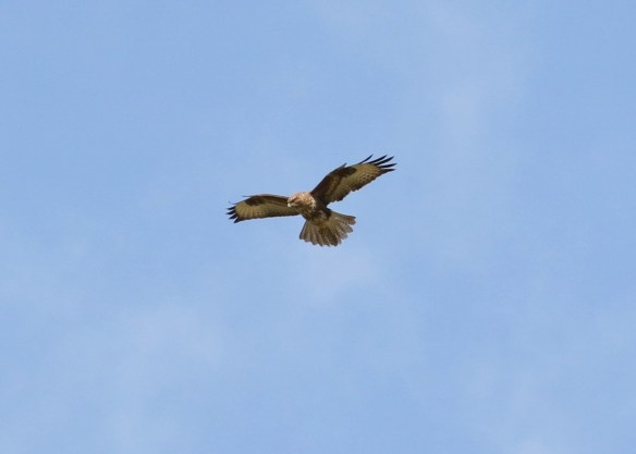 25.03.16, Common Buzzard, Frodsham Marsh. Tony Broome (15)